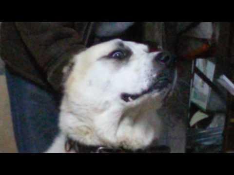 Алабаи. САО. Всё семейство в сборе. Щенки и взрослые собаки. Отношения собак между собой.