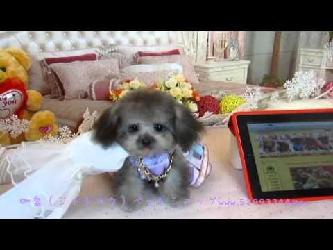 Pocket Teacup Super Tiny Teacup Poodle 028 銀色口袋貴賓