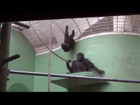 Jonge gorilla's aan het spelen in Diergaarde Blijdorp (07-03-2015)