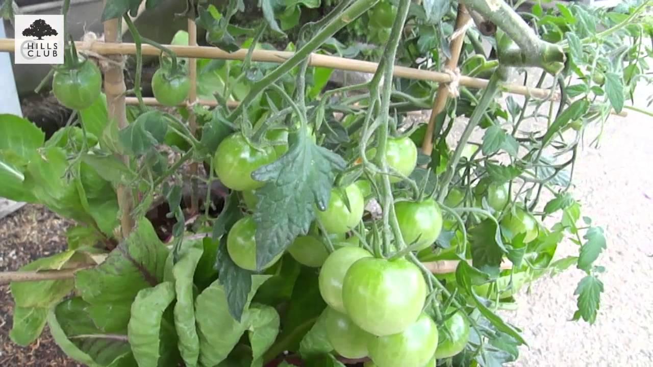 本 二 ミニ 仕立て トマト