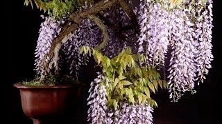 Wisteria Bonsai Tree