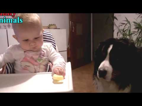bernese dog|Funny Dogs Videos|Funniest Home Videos