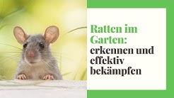 Ratten im Garten (erkennen, fangen und bekämpfen)