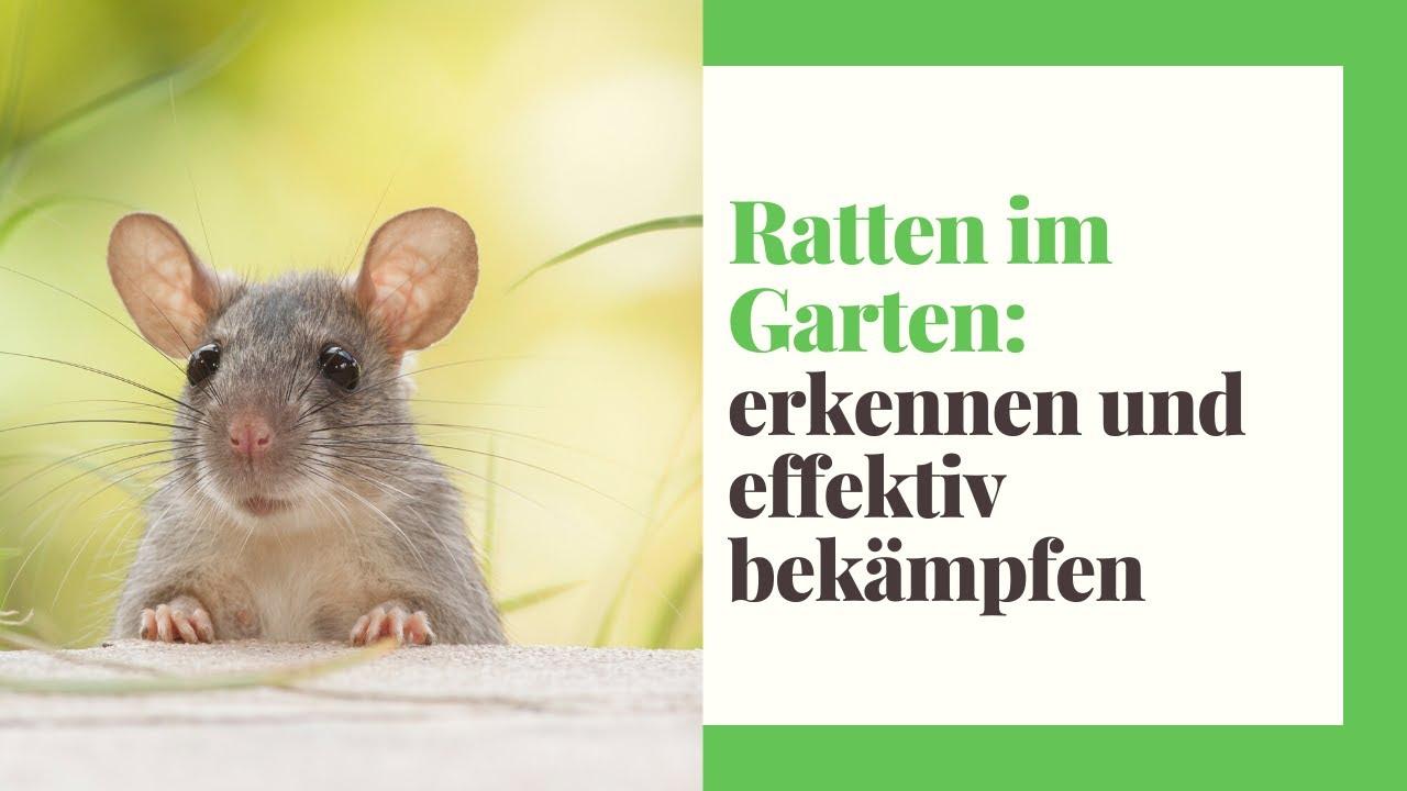 Ratten Im Garten Erkennen Und Effektiv Bekampfen Haus Garten Profi