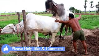 Download Video Live Stream: How To Breds Cows in cambodia - Amazing man breeds cows ការបង្កាត់ពូជសត្វគោ Wild animal MP3 3GP MP4
