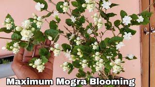 Easy way to get maximum Mogra Blooming, Get maximum mogra flowers