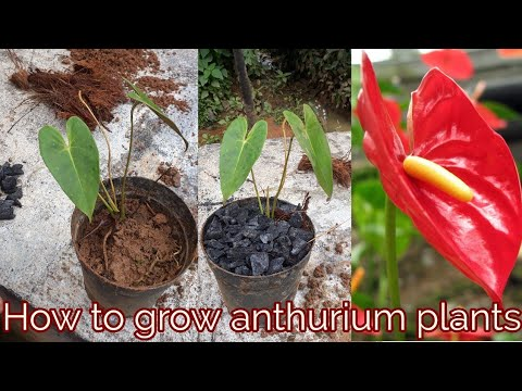 How To Grow Anthurium Plants Youtube
