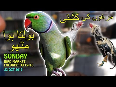 Talking Parrots | Fighting Roosters | Bird Market Lalukhet Karachi | Video in URDU/HINDI