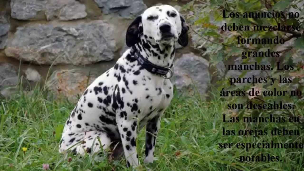 Animales Lindos Perro Dalmata - YouTube