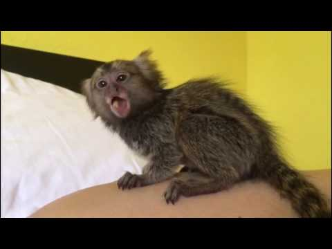 Baby Finger Monkey Eating Veggies #momolove Video 24