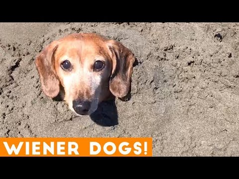 Funniest Dachshund Wiener Dog Compilation 2019 | Funny Pet Videos
