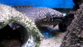 My Pet Dinosaur - Almost 18 inch Polypterus Ornatipinnis and Dovii Grin