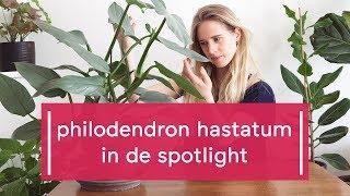 Plant Spotlight: Philodendron Hastatum - Super Groene Vingers