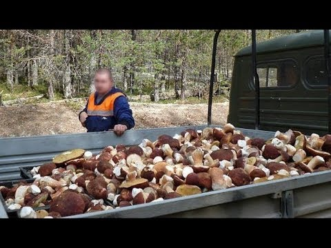 Выращивание белых грибов в домашних условиях