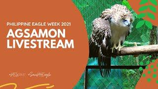 Philippine Eagle Agsamon Livestream- Day 1