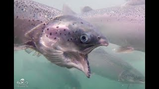 New Farmed Salmon Laws, They Are No Longer Sick