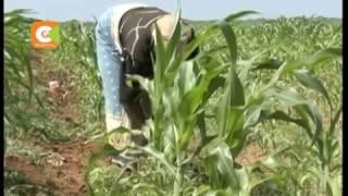 Reprieve for Kenyans as maize flour prices drop
