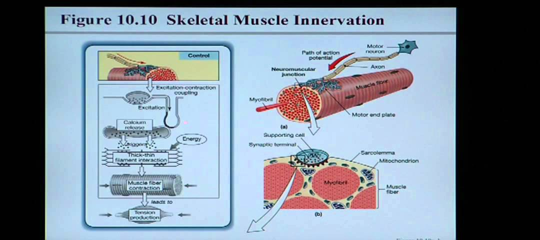 Anatomy and Physiology Help: Chapter 10 Muscle Tissue - YouTube