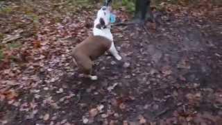 Bob The Bulldog On A Swing