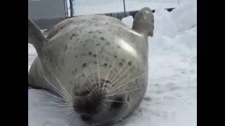 Тюлень шлёпает себя в слоумо