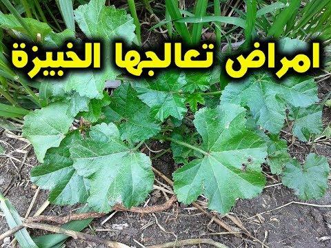 ماهى الخبيز والامراض التى تعالجها الخبيزة 9 فوائد للخبيزة !!! مذهلة