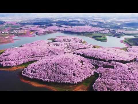 В Китае расцвели вишни и это прекрасно