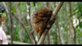 Bohol - chocolate Hills and philippine Tarsier monkey's HD