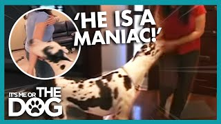 This Great Dane Is So Vicious! | It's Me or the Dog