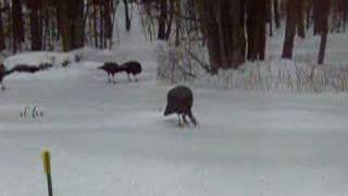 Turkeys slip and slide on snow and ice