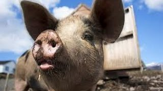 The Dietary Law: Can We Eat Pork?