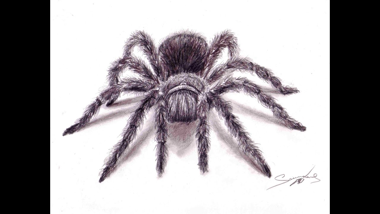 how to draw a wolf spider for kids