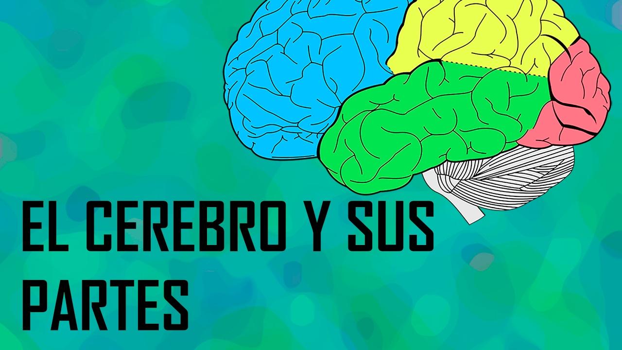 El cerebro y sus partes - YouTube