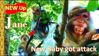 Reach Rescue ! New Baby Just Born get Attack & Jane Mom protect New Baby Jody , Jane monkey today
