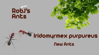 Iridomyrmex purpureus | New Colony Introduction