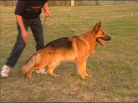 The German Shepherd Dog the German Way 2- Structure