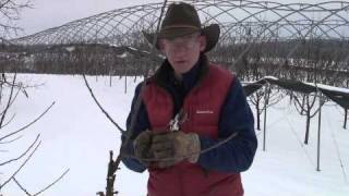 Pruning Gisela cherry - young tree tip and top