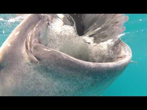 Schnorcheln mit Walhaien (Oslob)