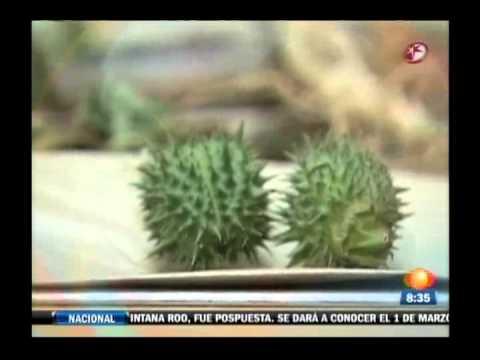 La Planta del Amor o Toloache, Mexicano.