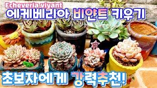 초보자에게 추천하는 다육식물 비얀트 키우기 ☆ 웃자람 …