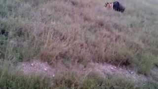 Serengeti Lions hunting Wild beast