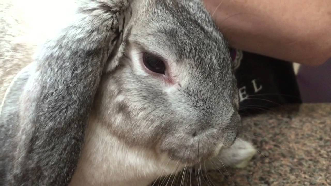 Why do Rabbits have Pink Eye  with 20 Videos – Farm Animal Report