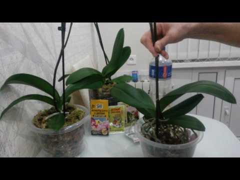 Обработка корней орхидеи фитоспорином.