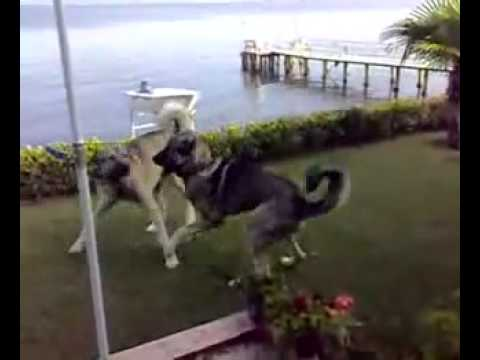 turkish kangal vs turkish kangal dog fight new youtube youtube. Black Bedroom Furniture Sets. Home Design Ideas