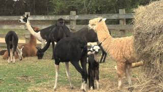 North Georgia Alpaca Farm Is Oldest In Southeast