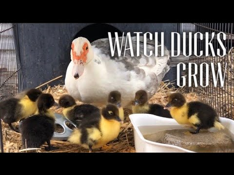 HOW DUCKS GROW? - Watch Muscovy Ducks Grow Day 1 to 2 Months