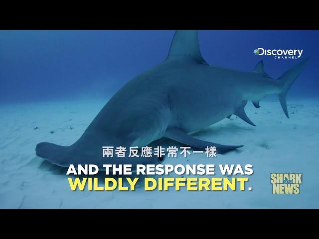鯊魚週30週年特輯 Shark News : 勞倫氏壺腹