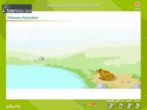 Respiratory Organs In Amphibians