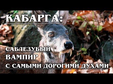 КАБАРГА: Саблезубый олень с мускусным ароматом