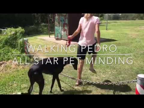 Dog Walker Walking Pedro the Greyhound