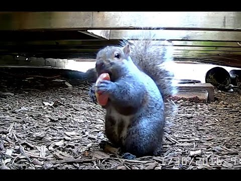 Eastern Gray Squirrel (Sciurus carolinensis) eating Cara Cara orange slice 01-30-2016